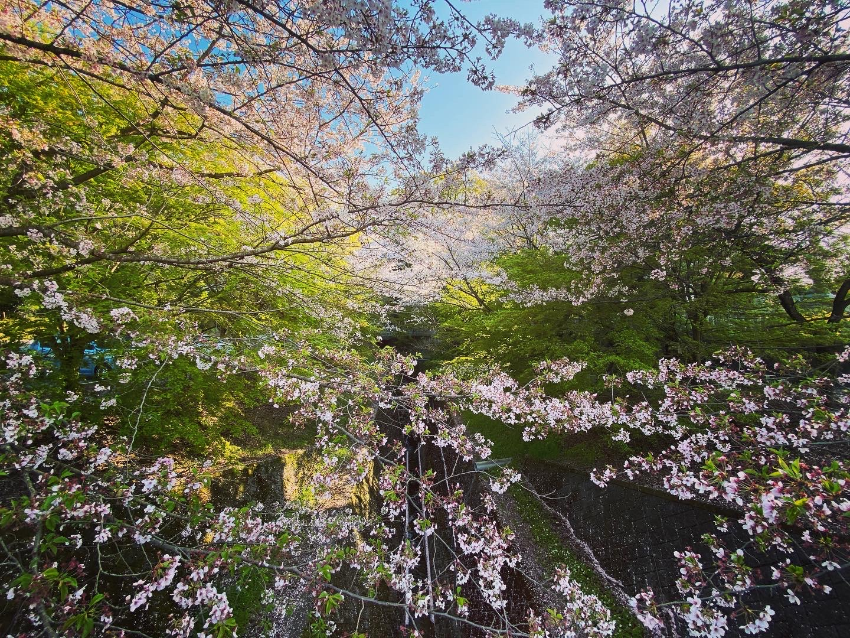 西条市,石鎚神社.桜